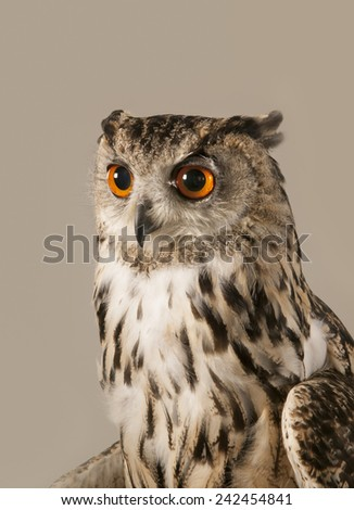 EAGLE OWL 4.  A well lit studio shot of an eagle owl looking to the left - stock photo