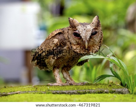 Eagle owl alerted to movement down on the ground