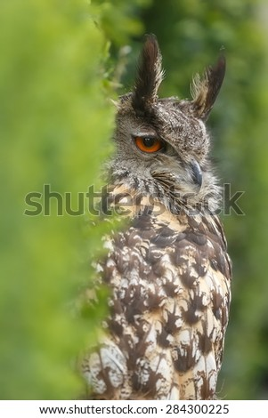 eagle owl behind bush - stock photo