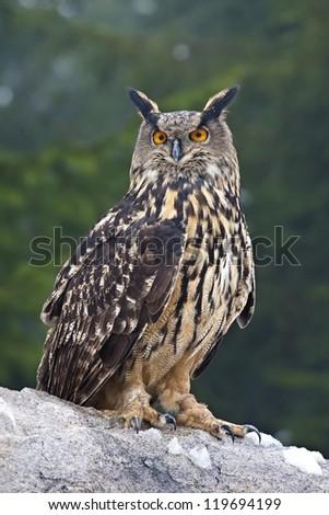 Eagle owl (Bubo bubo) - stock photo