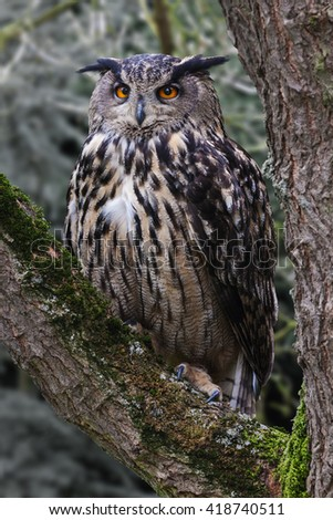 Eagle Owl in a tree. A magnificent eagle owl stares ahead from its perch in a tree. - stock photo