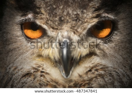 eagle owl in detail portrait