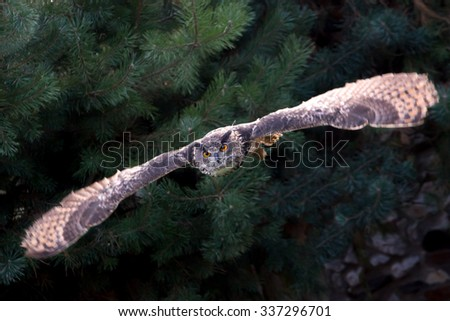 Eagle owl in flight, conifers in background - stock photo