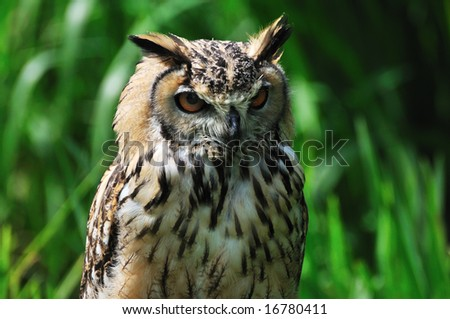 eagle owl in nature