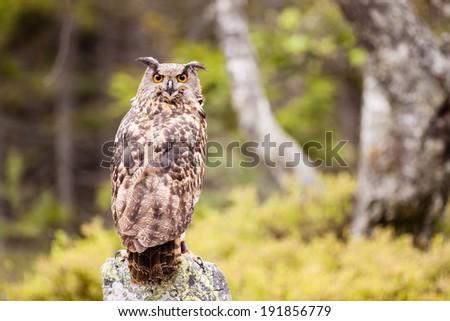 Eagle Owl or Bubo Bubo on the rock - stock photo