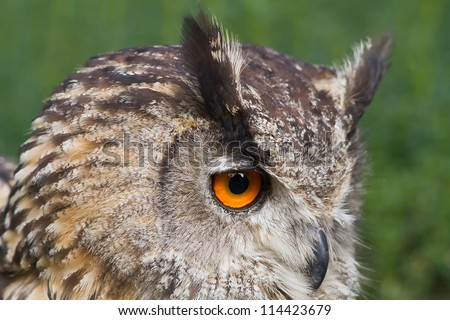 eagle owl portrait with green background