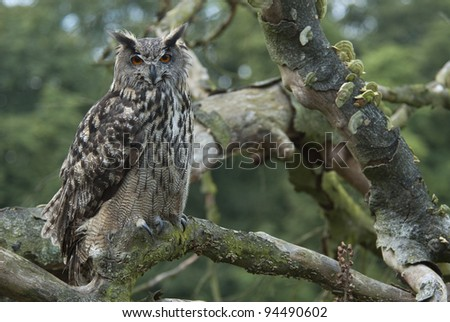 Eagle owl sitting in a tree