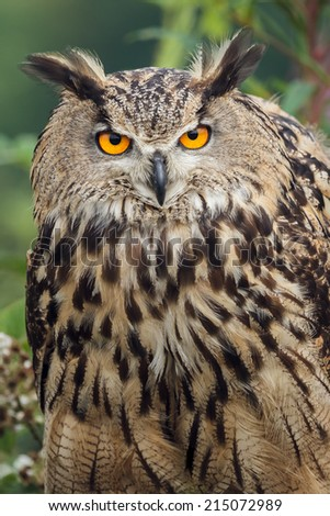 Eagle owl staring - stock photo
