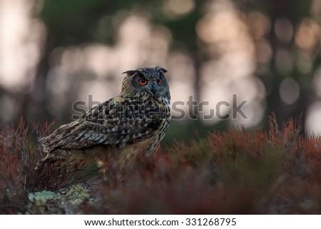 eagle owl with back light - stock photo