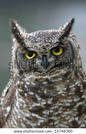 Eagle owl with large round yellow eyes and speckled feathers