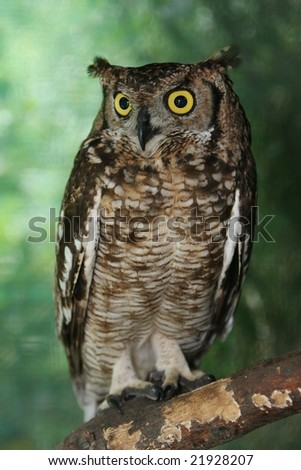 Eagle owl with large round yellow eyes perched in a tree - stock photo