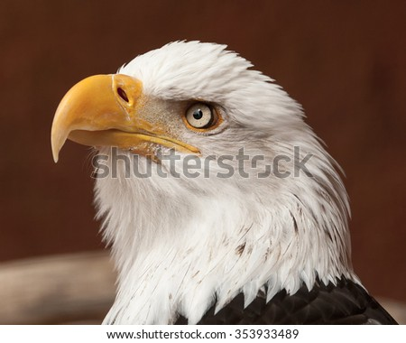 Eagle portrait.