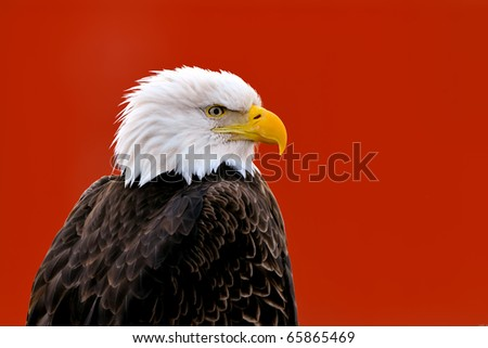 eagle portrait against red background, non-captive environment - stock photo