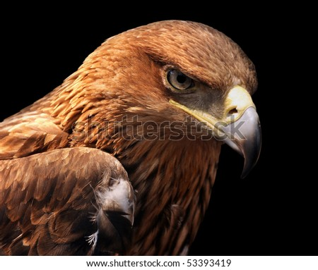 Eagle portrait isolated on black - Greater Spotted Eagle - stock photo