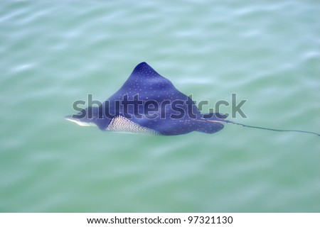 Eagle ray in the sea. Eagle ray floats on the surface of the sea - stock photo