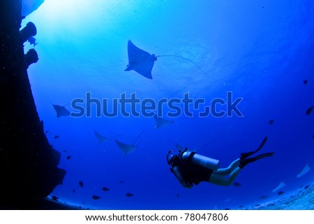 eagle rays and a scuba diver on a wreck in mexico - stock photo
