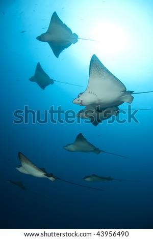 Eagle rays flight, Galapagos - stock photo