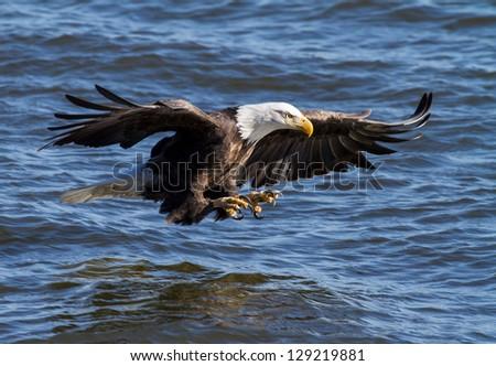 Eagle Ready - stock photo