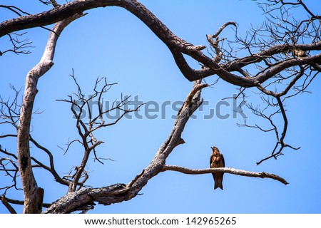 Eagle resting on the branch of the dead tree - stock photo