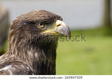 Eagle's head - stock photo