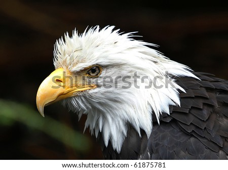 Eagle searching for its prey - stock photo