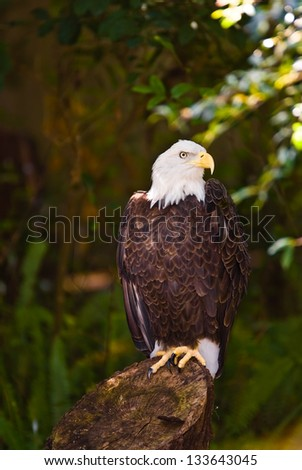 Eagle sitting on a tree stump in the shade - stock photo