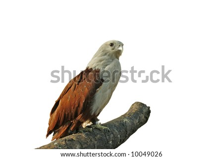 Eagle standing on drift wood isolated on white background