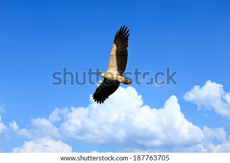 Eagle white bellied flying over the stunning blue sky. Soft focus and blur on bird's head due to fast movement. Soft focus - stock photo