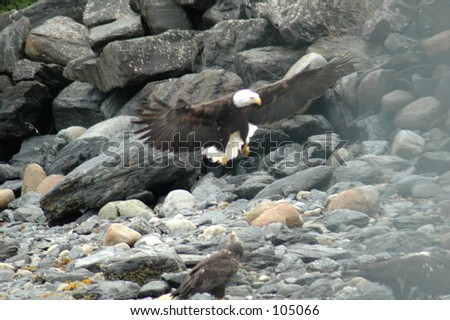 Eagles  (Alaska) - stock photo