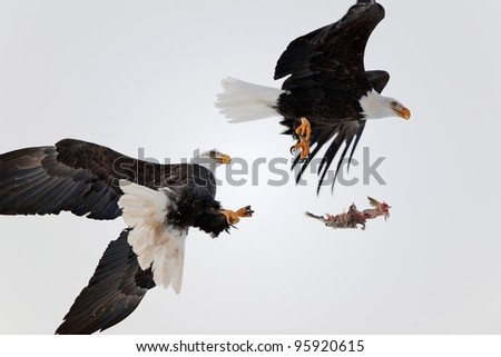 Eagles fight in air. Two Bald Eagles (Haliaeetus leucocephalus washingtoniensis ) fight in air because of a piece of fish. - stock photo