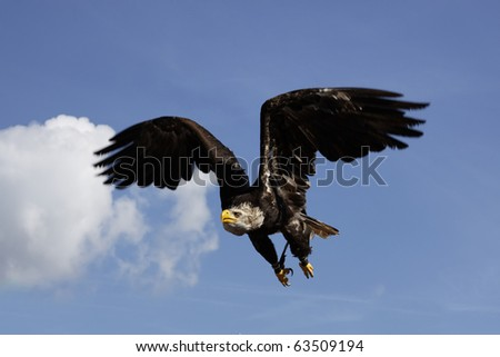 Eagles in flight and blue sky