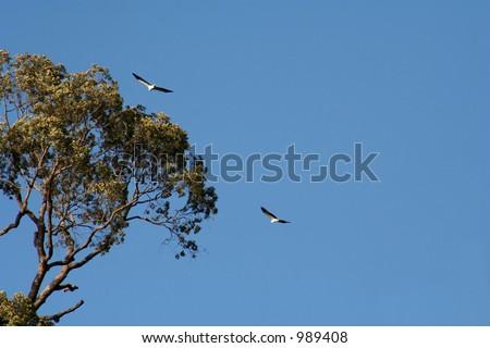 eagles soaring - stock photo