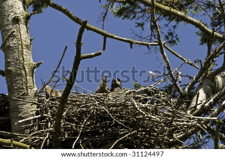 Eaglet checking out the surrounding area for the future hunting ground. - stock photo