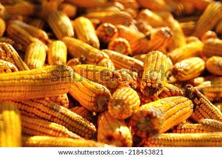 Ear corn drying after harvest.  - stock photo
