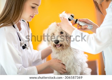 Ear examination of cute Maltese dog by veterinarians in vet clinic - stock photo