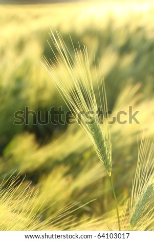 Ear in the field backlit by the setting sun. - stock photo