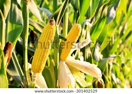 ear of corn in the field on a sunny day - stock photo