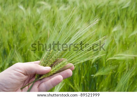 ear of green wheat in hand - stock photo