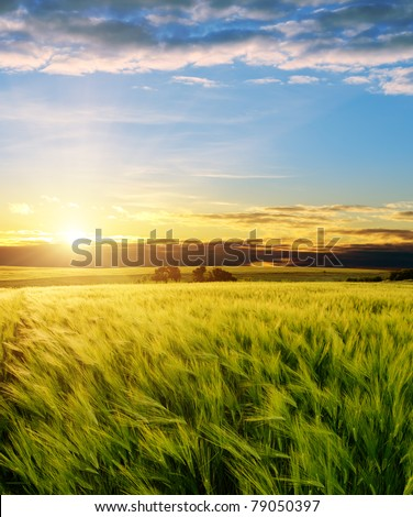 ear of green wheat under sunrays - stock photo