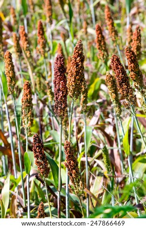 Ear of millet in millet farmland.Some millet are in focus. - stock photo