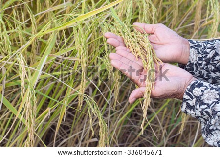 Ear of rice in farmer's hands