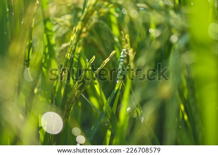 ear of rice selective focus - stock photo