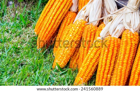 ear of ripe corn on green grass with dead wood log on the back