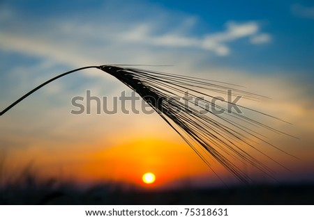 ear of ripe wheat with sun on background - stock photo