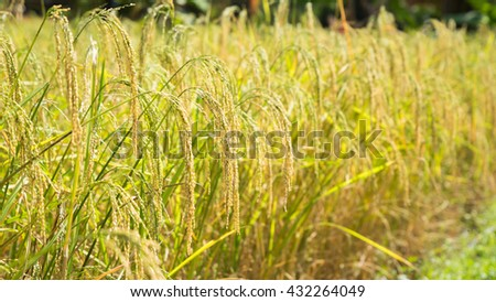 Green Rye Part Field Has Been Stock Photo 437163412