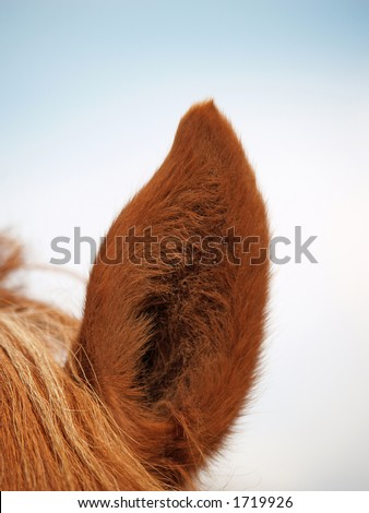 Ear of the horse, close-up - stock photo