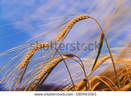 Ear of the wheat on field and cloud in the sky  - stock photo