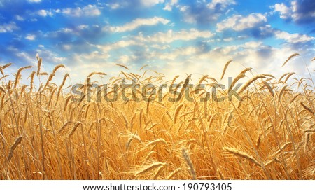 ear of wheat - stock photo