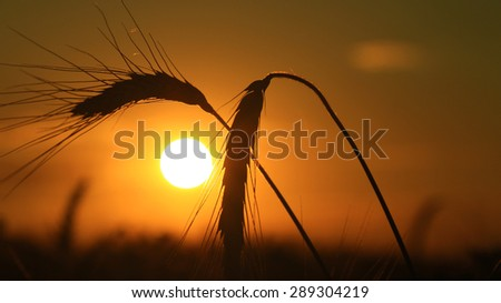 Ear of wheat at sunset - stock photo