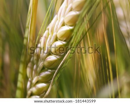 Ear of wheat macro in Spring - stock photo